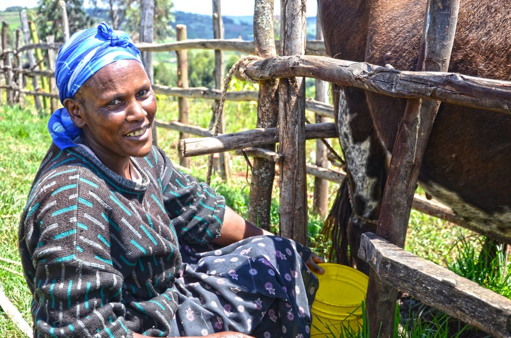 Agroforestry for Dairy Farming: Rose Koech, milking a cow at her farm in Kembu, Bomet County in Kenya. She grows fodder trees, shrubs and grass for dairy cattle. World Agroforestry Centre/Sherry Odeyo