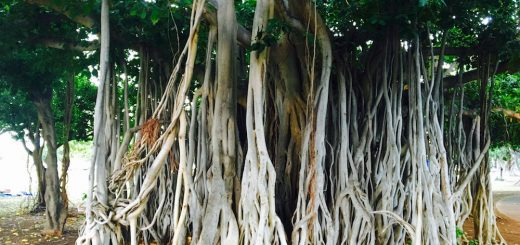 The banyan tree, Ficus benghalensis in Hawaii. Photo ©Mike Shanahan