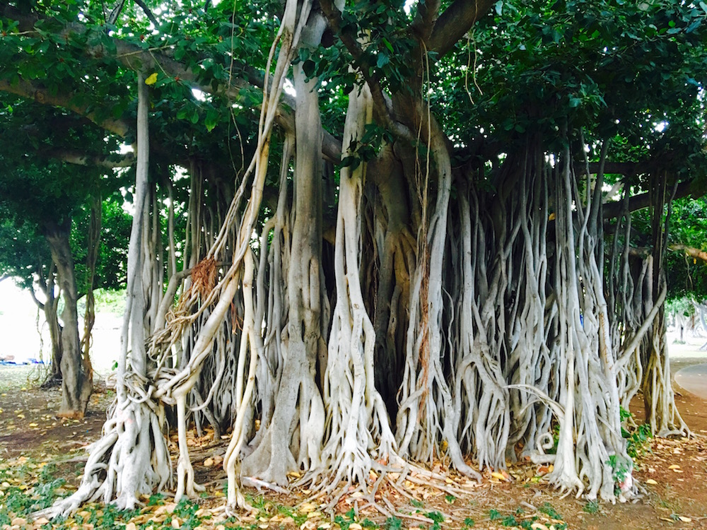 The Banyan tree, Ficus benghalensis in Honolulu, Hawaii. Photo ©Mike Shanahan