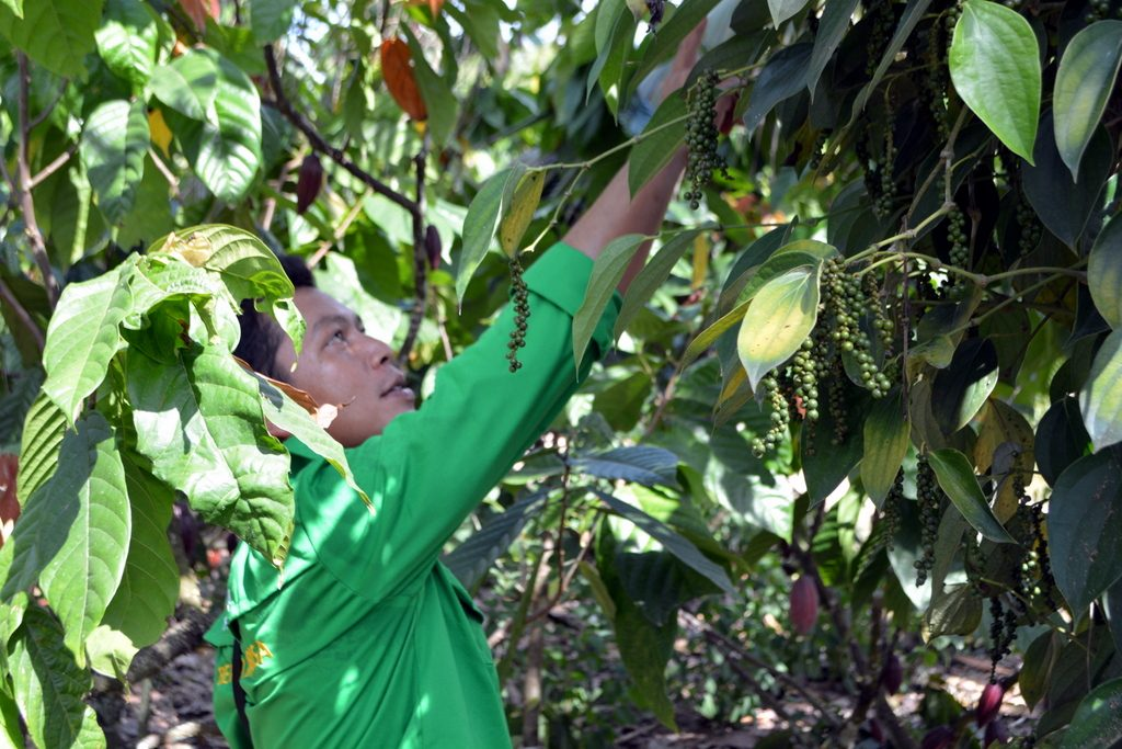 Hubertus Tengkirang from GIZ Forclime inspecting a cacao-pepper agroforest at Onembute village