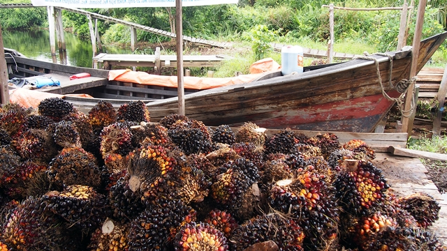 Oil-palm fruit ready for transport to a processor. Photo: World Agroforestry Centre/Robert Finlayson