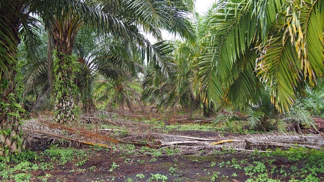 Oil-palm plantation in Jambi Province, Indonesia. Photo: World Agroforestry Centre/Robert Finlayson