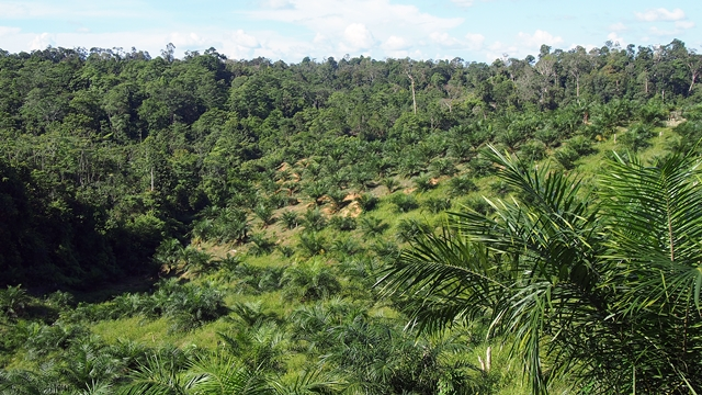 Young oil-palm plantation adjacent to forest in Jambi Province, Indonesia. Photo: World Agroforestry Centre/Robert Finlayson