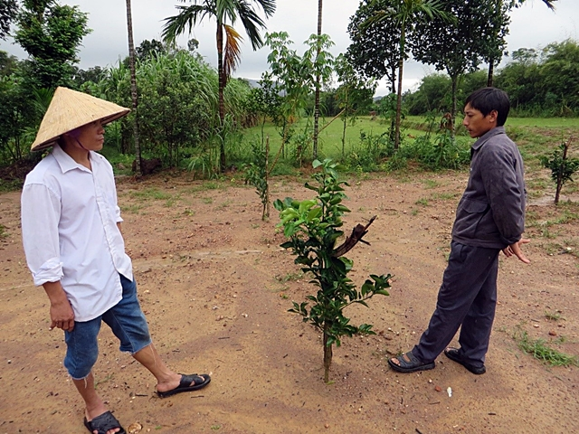 A young orange tree in the homegarden of Nguyen Thi Ly in My Loi. The soybeans grown beneath it had been harvested in September. Photo: World Agroforestry Centre/Le Dinh Hoa