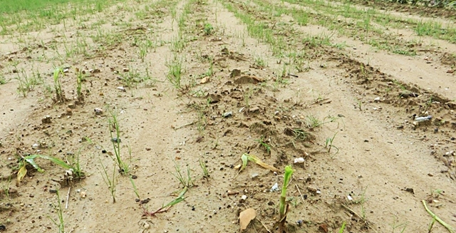 Flood-affected maize seedlings. Photo: World Agroforestry Centre/Le Thi Tam.