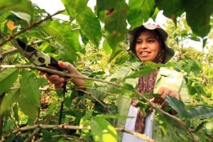 Israk in her coffee agroforest in Kayu Loe Village. Photo: World Agroforestry Centre