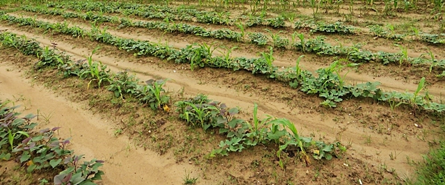 Less-affected maize seedlings with sweet potato. Photo: World Agroforestry Centre/Le Thi Tam