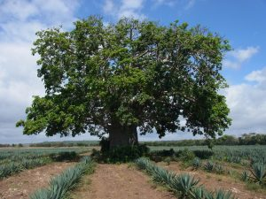 Baobab (Adansonia digitata) tree. Get information on this and other tree species on the Agroforestry Species Switchboard. Photo by Stepha McMullin/ICRAF