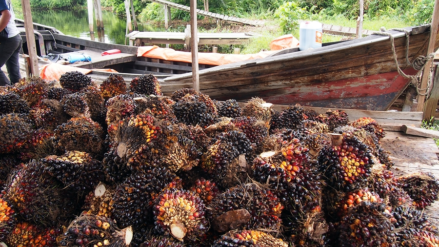 Oil palm is already a source of bioenergy in Indonesia but much work is needed to make the supply and production chains flow fairly, efficiently and effectively. Photo: World Agroforestry Centre/Robert Finlayson