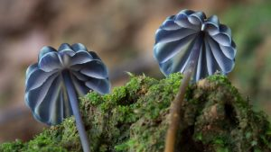 Marasmius purpureostriatus. Photo by Steve Axford/ICRAF