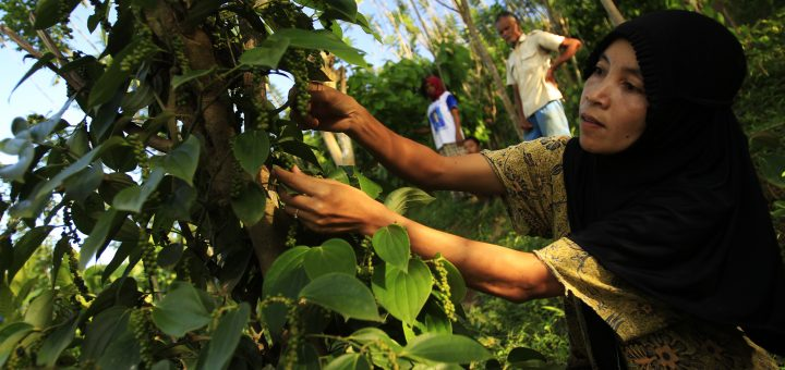 A woman works on a pepper nursery in Southeast Sulawesi. Photo: World Agroforestry Centre/ Yusuf Ahmad