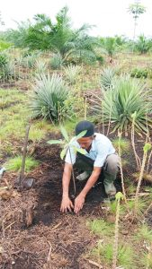 Planting jelutung amid other crops in a young oil-palm plantation. Photo: World Agroforestry Centre/Robert Finlayson