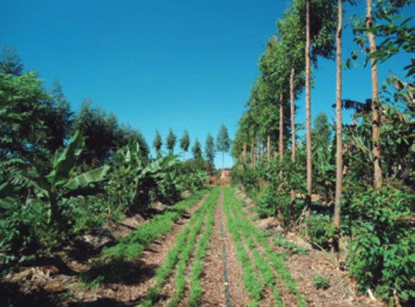 "Successional Agroforests with beds of vegetables and annual crops intercropped with rows of ""fertilizer"" and native trees. Site: Sitio Semente. Brasilia, Federal District."