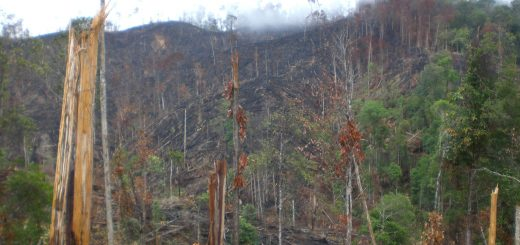 """Slash-and-burn land clearing of old rubber agroforest – such practices can continue under 'deforestation-free' claims (photo- Meine van Noordwijk, Jambi, Indonesia)"