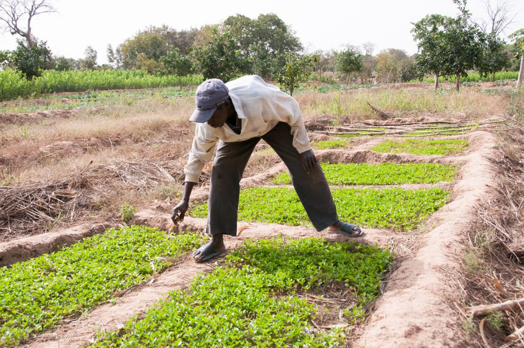 A smallholder farmer with his fruit tree seedlings. Photo: World Agroforestry Centre/Ake Mamo
