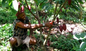 A progressive farmer in Ghana prunes his Carabobo cacao tree, originally from Venezuela. Photo credit: Richard Markham/Bioversity International
