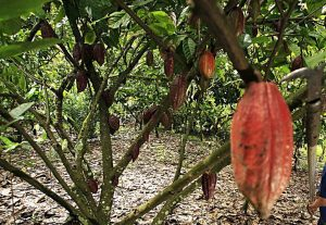 Can strengthening women's influence in land-use decisions lead to a greater adoption of cocoa agroforests?
