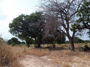 Call to action: more trees to restore landscapes and improve livelihoods in northern Ghana