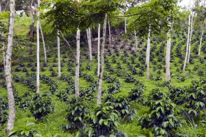 Agroforestry at 40: how tree-farm science has changed the world