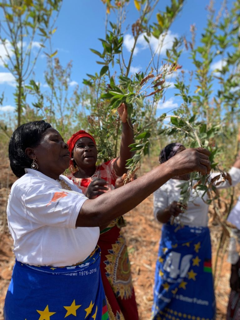 Women among their pigeon peas, one of a suite of interventions under the EU project. Photo: World Agroforestry/C. Watson
