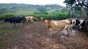 Improving dairy production through agroforestry and innovation