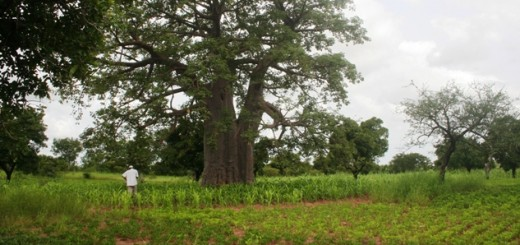 Boab tree, crops, Burkina Faso, conservation agriculture with trees, Africa, agroforestry