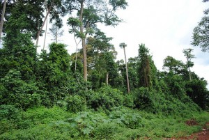 Sacred wood in Cote d'Ivoire. Photo by Emilie Smith/ICRAF